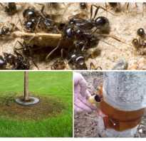 Как сделать ловушки для муравьев на деревьях