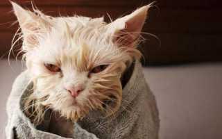 Как помыть кота, если он боится воды: рекомендации и советы