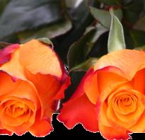 Как сделать из лепестков роз розовую воду