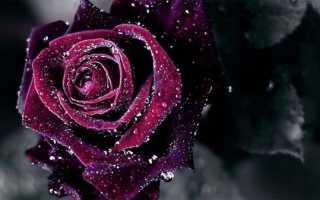 Как сделать черную розу